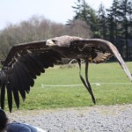 Eagle Sanctuary Near Swinford, Co Mayo